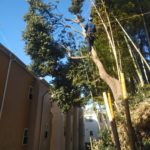 危険木の伐採作業